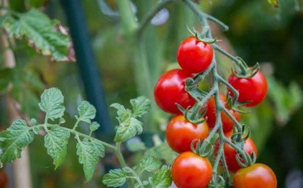 Budidaya Tomat Dengan Pot